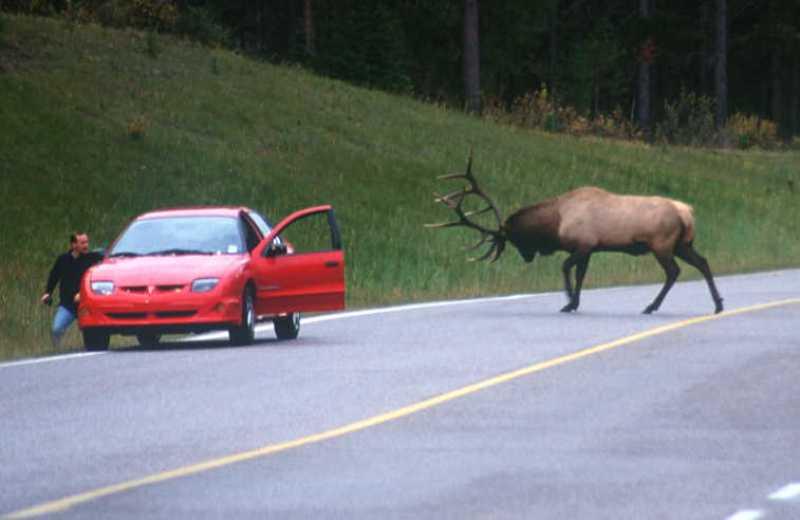 Alberta Rocky Mtns Elk Chargin