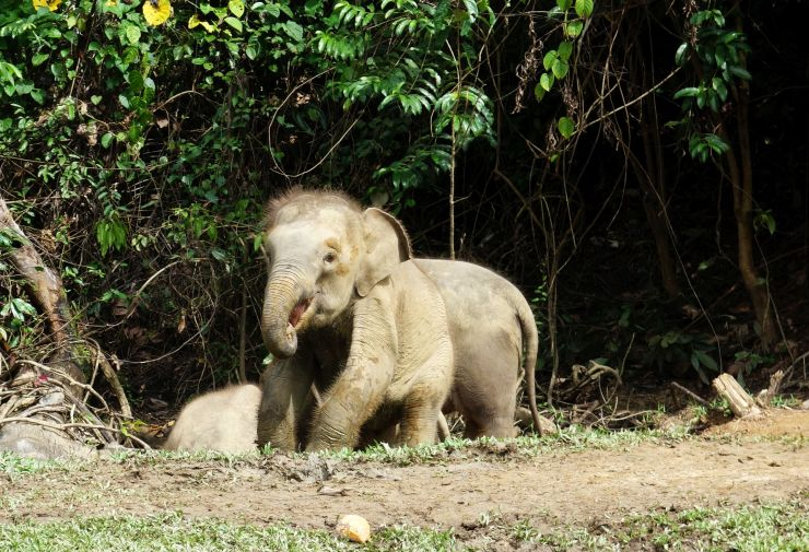 Pygmy Elephants Borneo