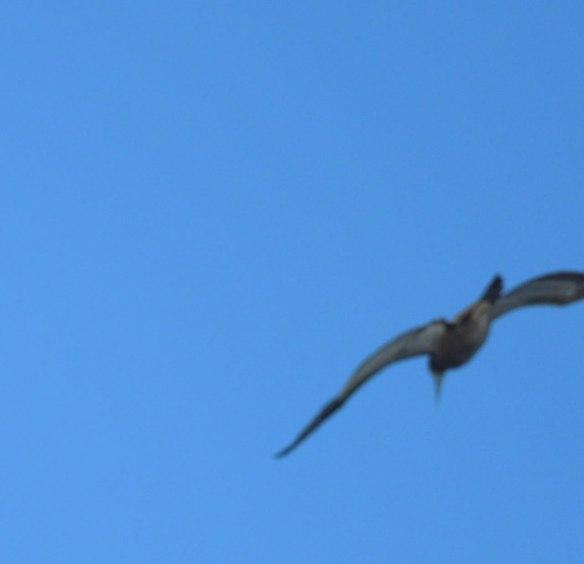 狡猾的领航鸟