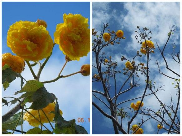 美艳的大树黄花