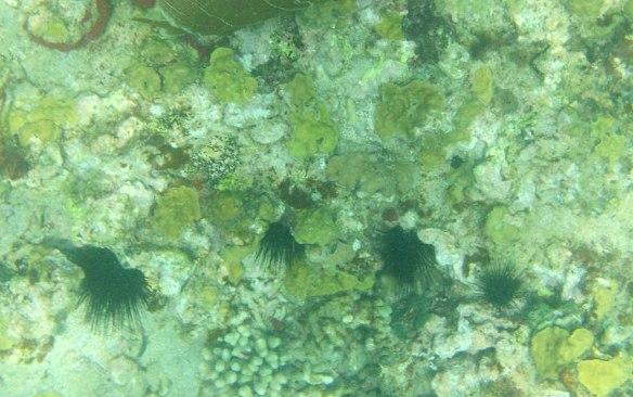 密集的海胆与珊湖