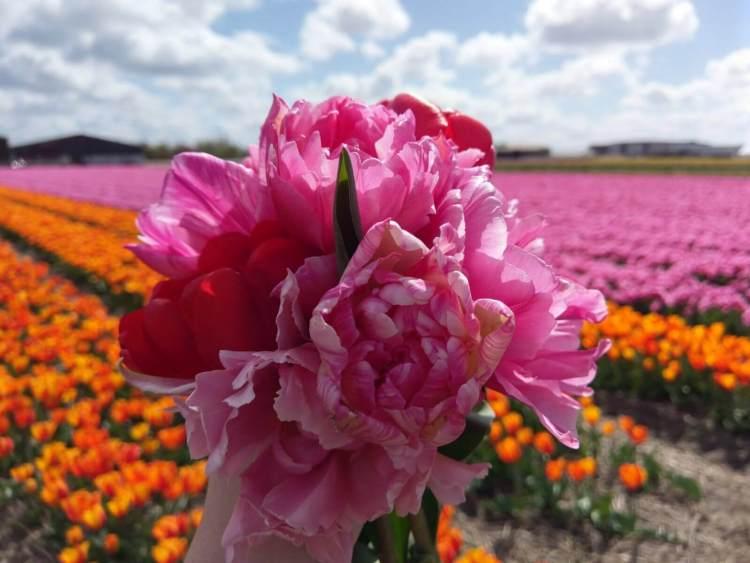 Bollenstreek Lisse Tulpen