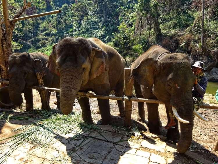 Chang Mai Oliifanten reservaat