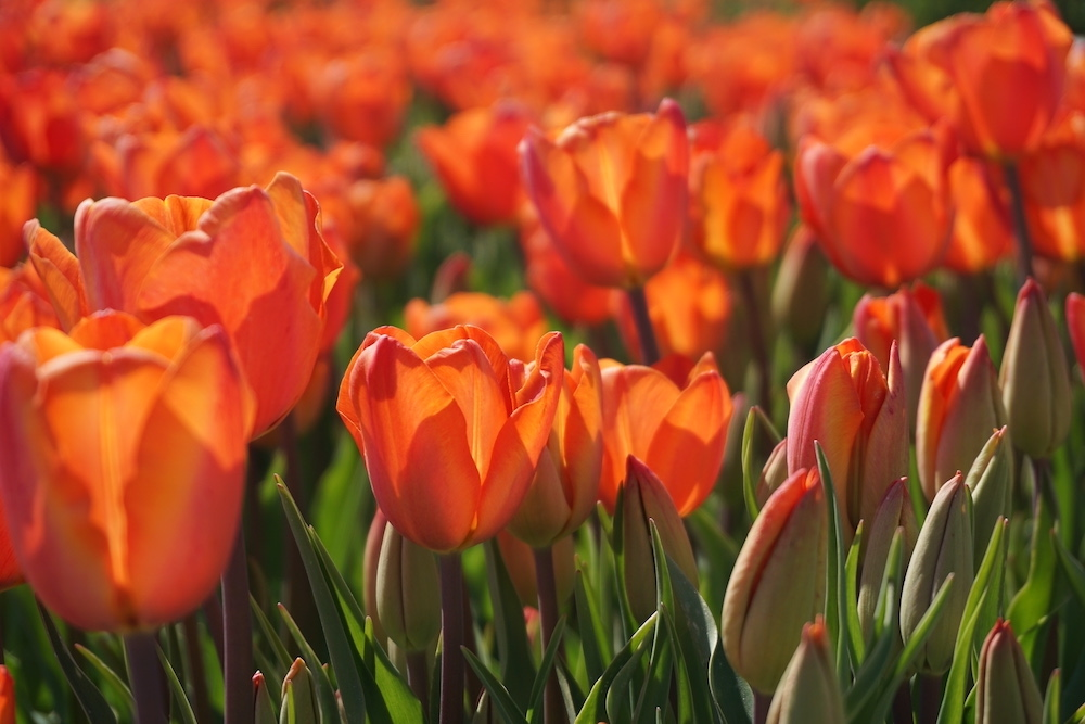 Tulpenvelden Flevoland