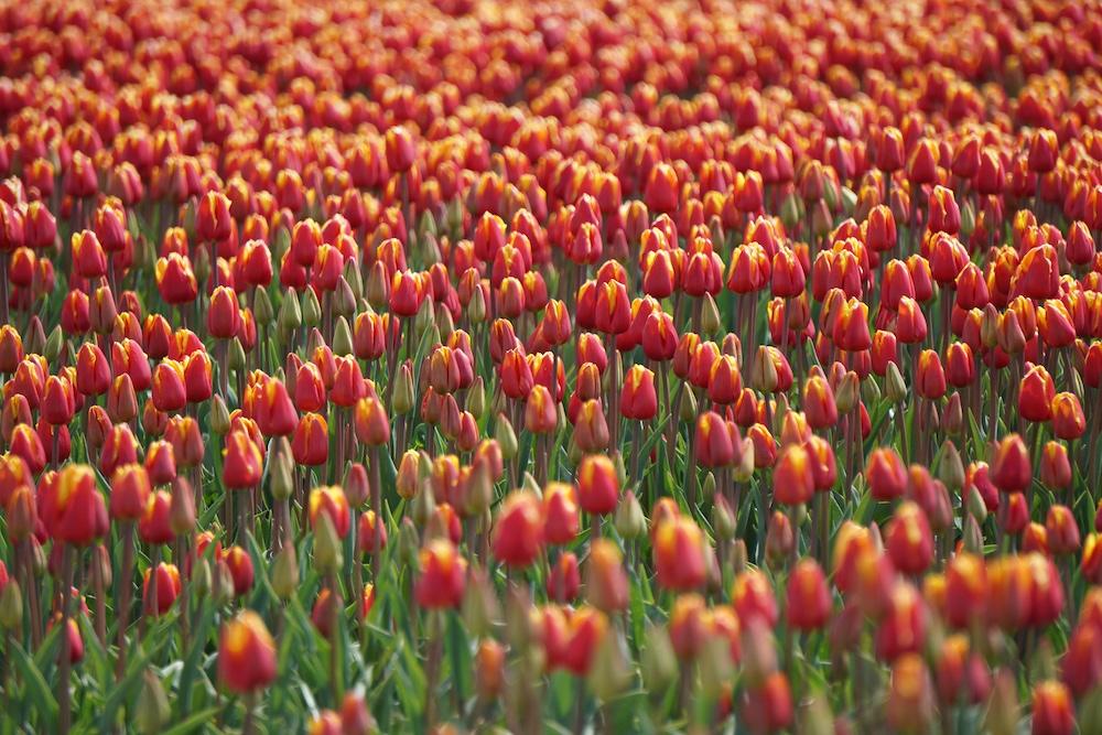 Tulpenvelden Kop van Noord Holland