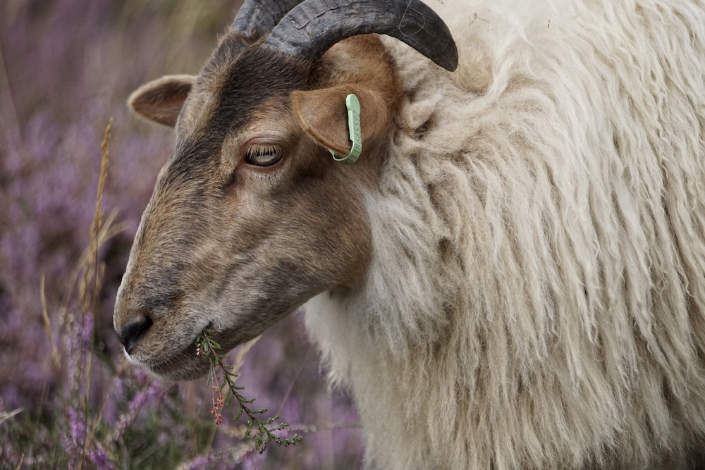 Drentse heideschapen Tafelberg en Blaricummerheide