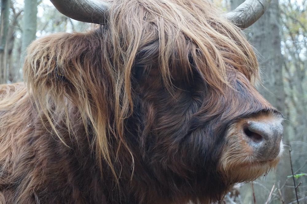 Schotse Hooglander Nationaal Park Zuid Kennemerland