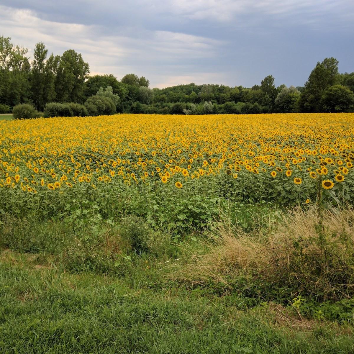 Sunflowers, Dordogne, Nouvelle-Aquitaine, France