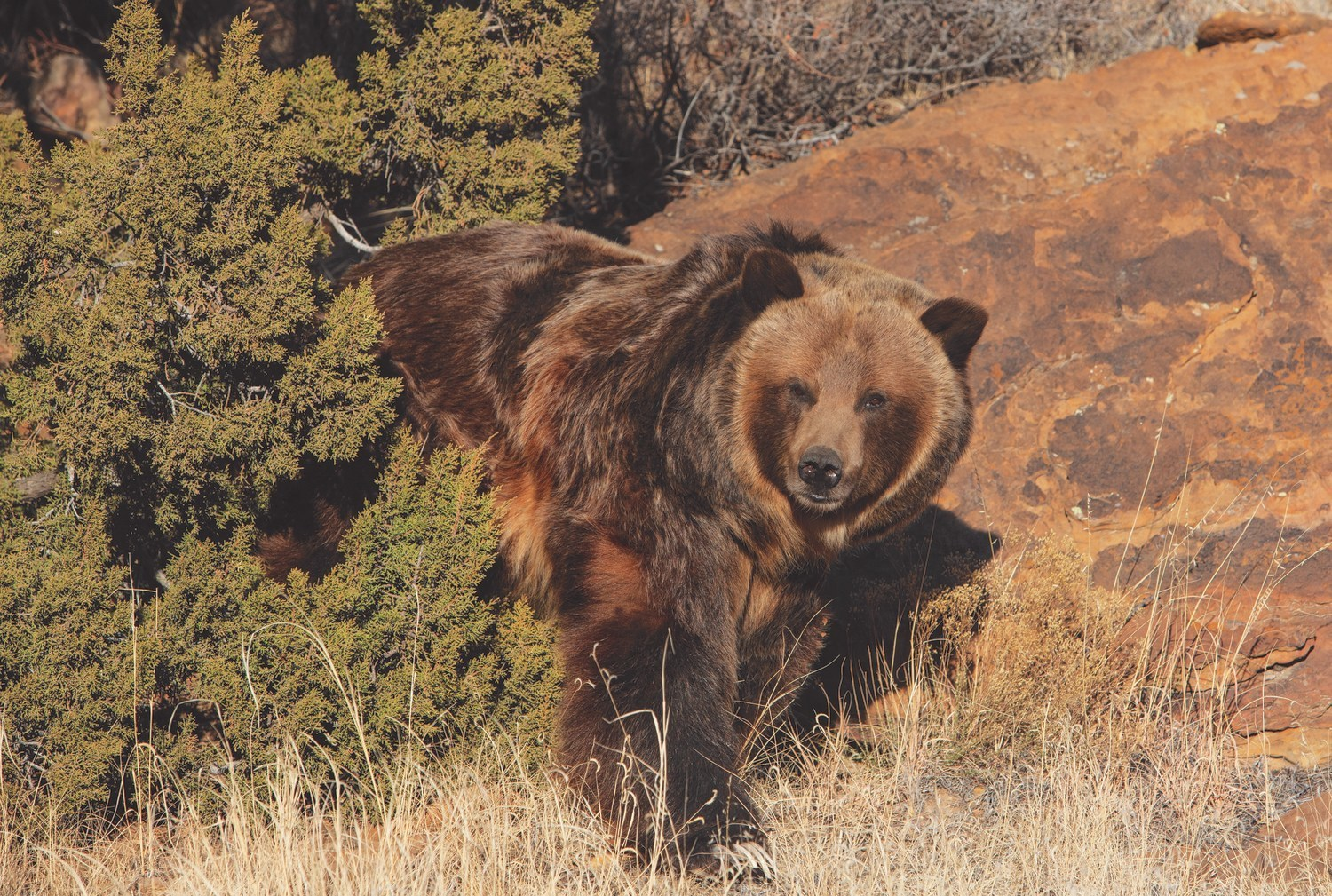 Rescued Grizzly, Miss Montana, exploring her new habitat at The Wild Animal Refuge in Colorado.