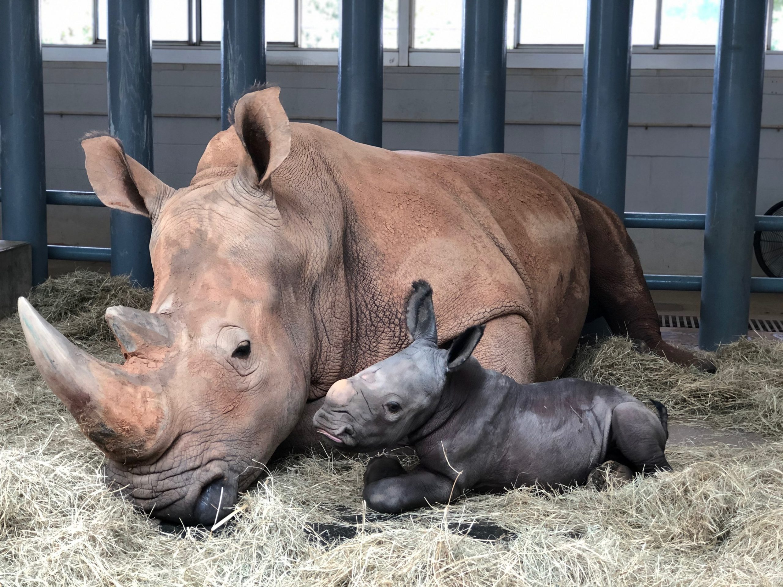 White rhinoceros Kendi gave birth to a male rhino Oct. 25, 2020, at Disney's Animal Kingdom at Walt Disney World Resort in Lake Buena Vista, Fla. The baby rhino was the result of a Species Survival Plan overseen by the Association of Zoos and Aquariums to ensure the responsible breeding of endangered species. (Disney)