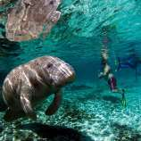 Swim with Manatees, Florida's Gentle Giants