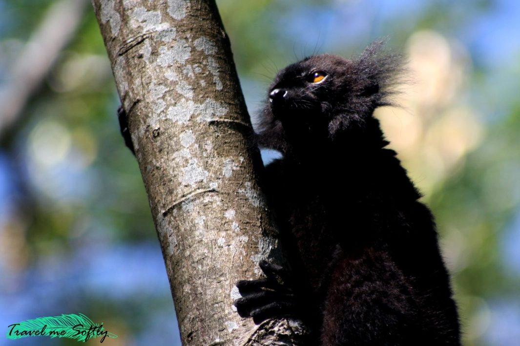lémur negro nosy komba