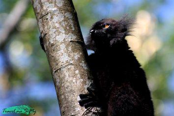 qué es un lemur