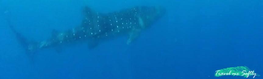 tiburón ballena Puerto Princesa