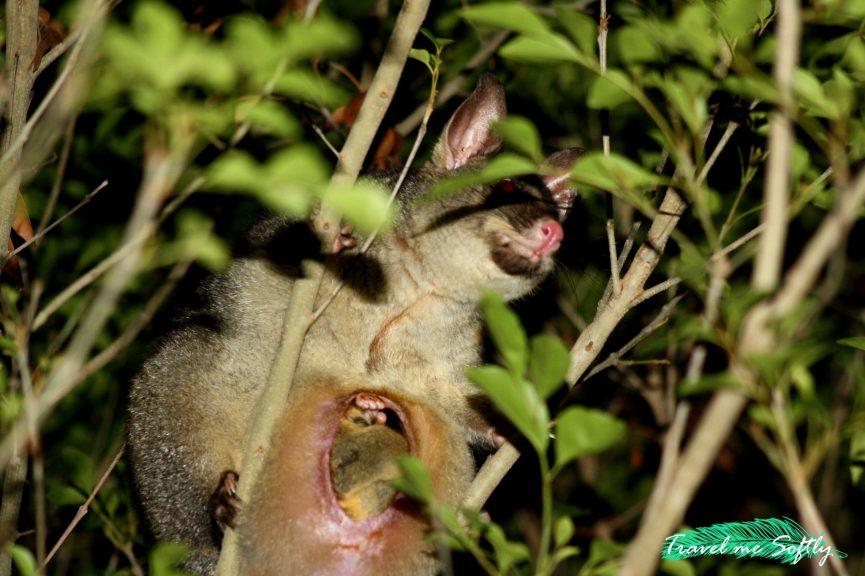 possum marsupial