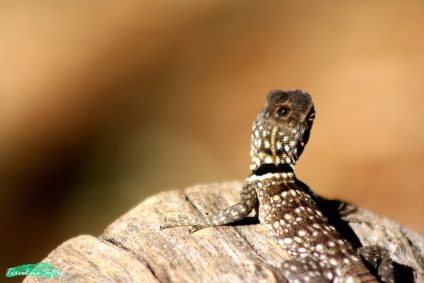 iguana foto de viaje