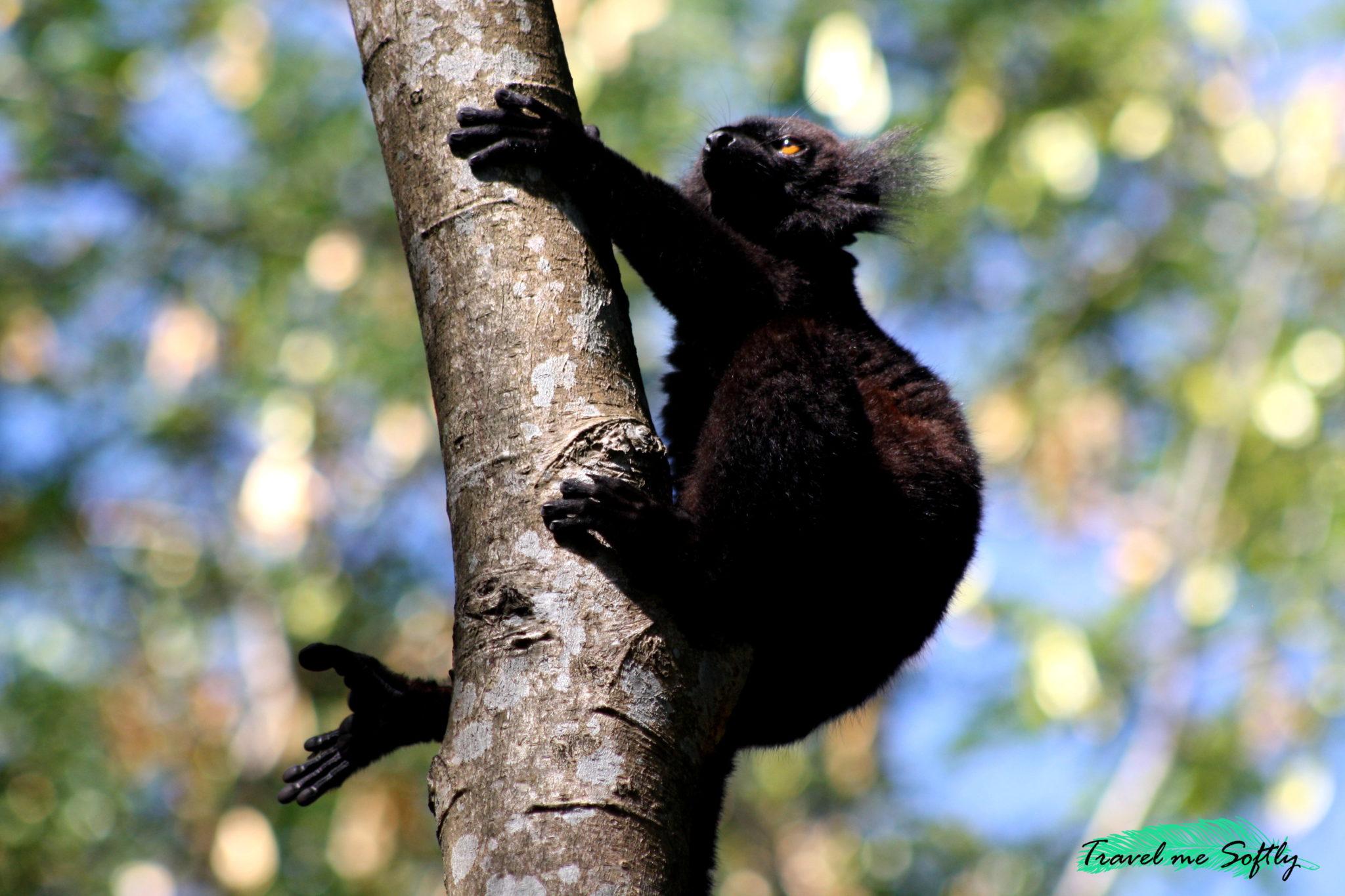 fotografía de lemures