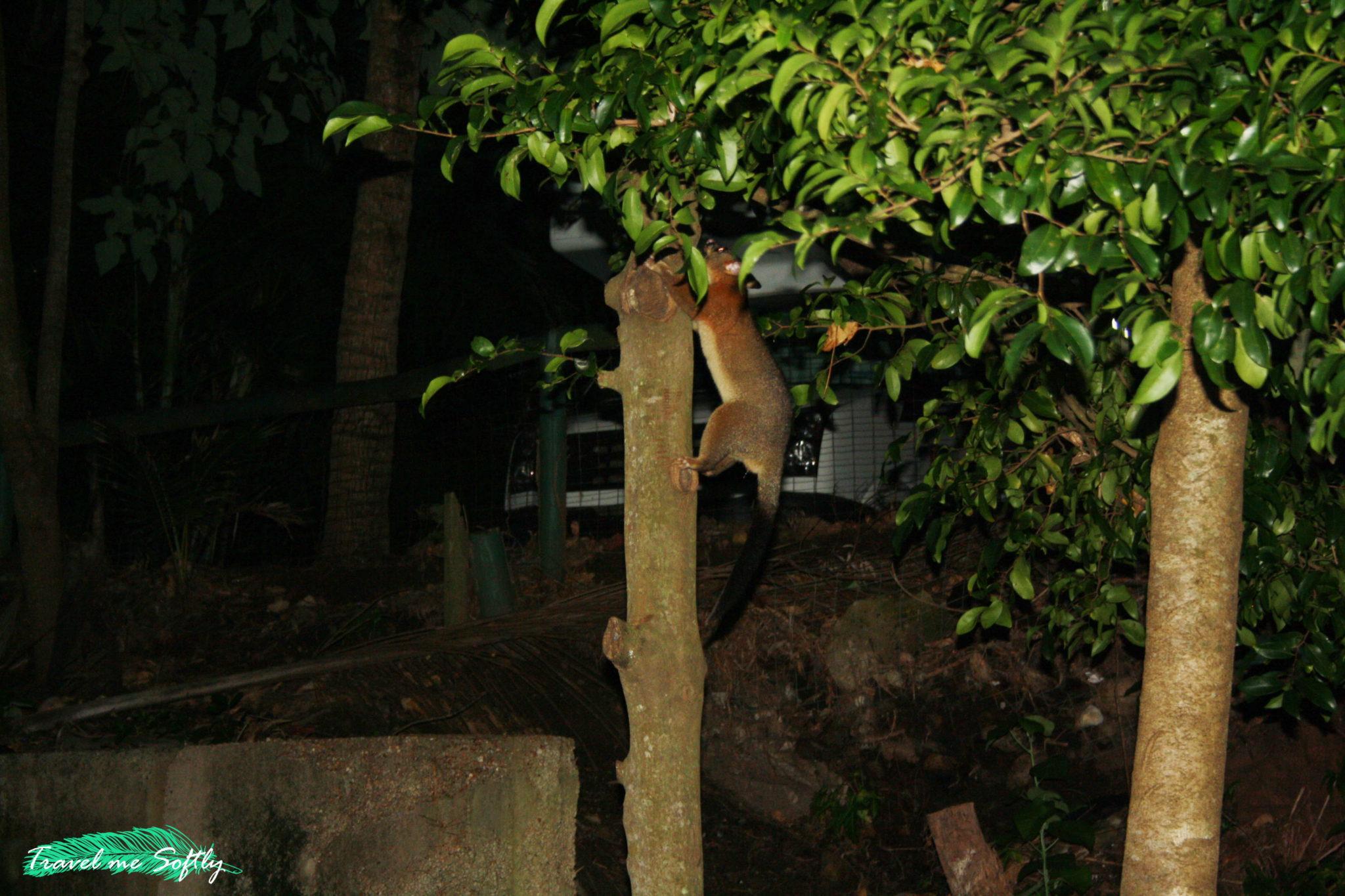Cape Hillsborough Nature Tourist Park possum