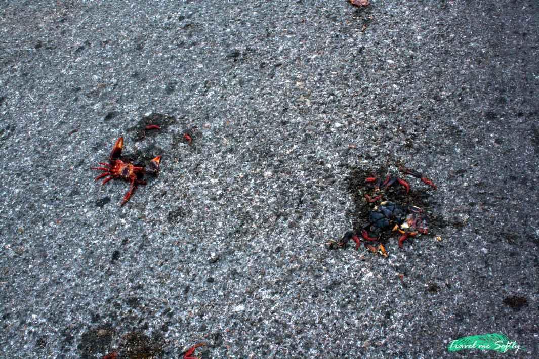 cangrejo rojo carretera playa larga