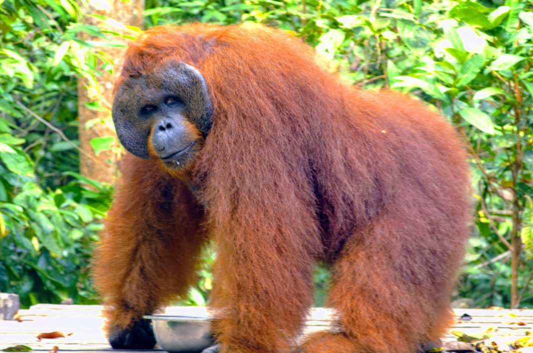 orangutan experiencia animal