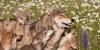 Yellowstone Wolf Watching Tour