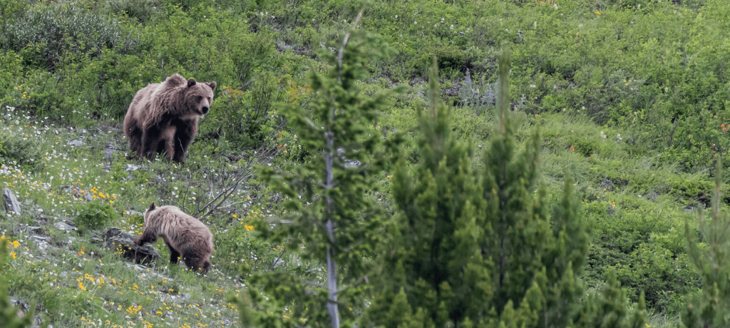Grizzly bar and cub sen from afar on a sloping hill.