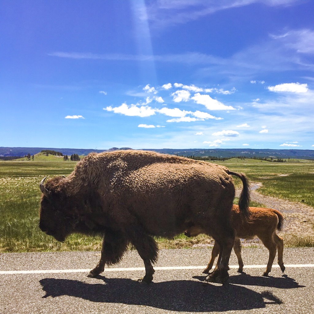 Mama and baby buffalo in the spring in Yellowstone National Park.
