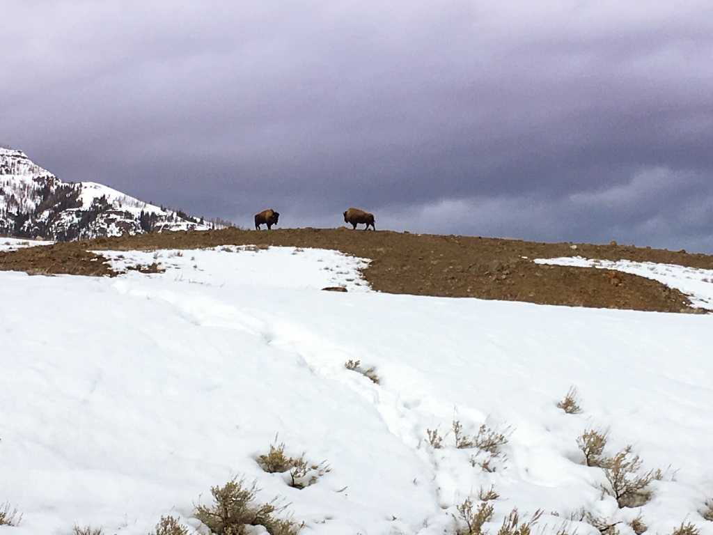 Bison on an early spring drive through Yellowstone National Park
