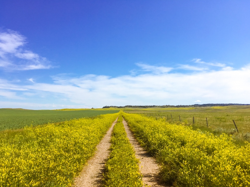 Pea fields and dirt roads during summer in eastern Montana