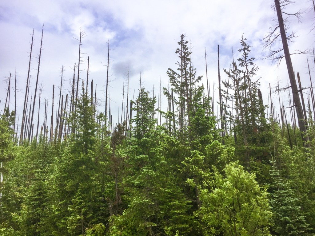 New forest growth growing out of a previously wildfire burned area in Glacier National Park.