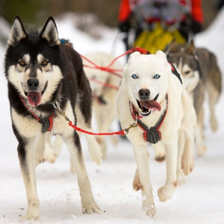Dog sledding is a quintessential Montana winter activity.