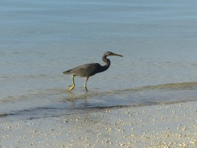 black-egret-2