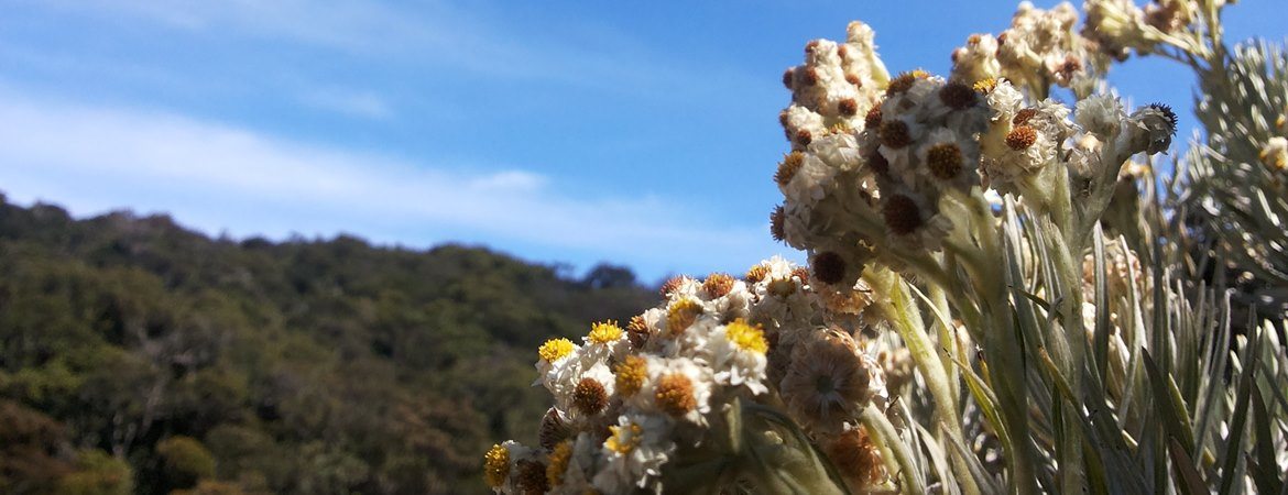 Eternal Flower Edelweiss: Will We Let It Extinct?