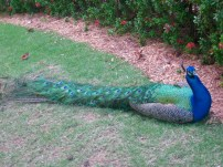 one of the resident peacocks
