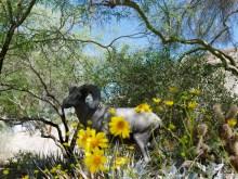 living desert big horn ram travelnerdplans