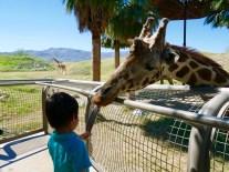 living desert feeding giraffe 2 travelnerdplans