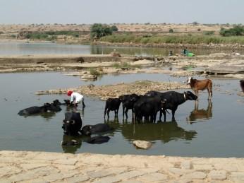 A local bloke washing his livestock.