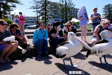接近開餐時間,遊人和塘鵝都各就各位。