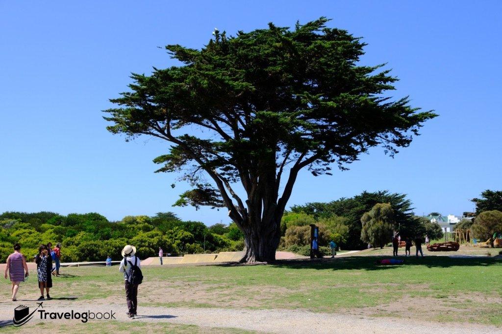 附近Apollo Bay的數株大樹相當吸睛。