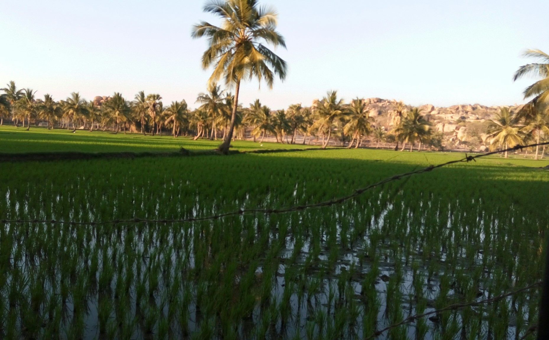 Paddy fields with mountains in the backdrop