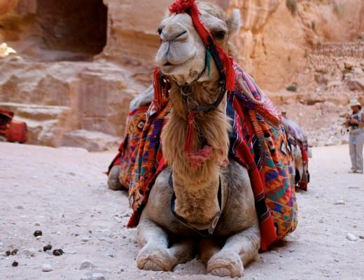 Jordan: Camel in Petra