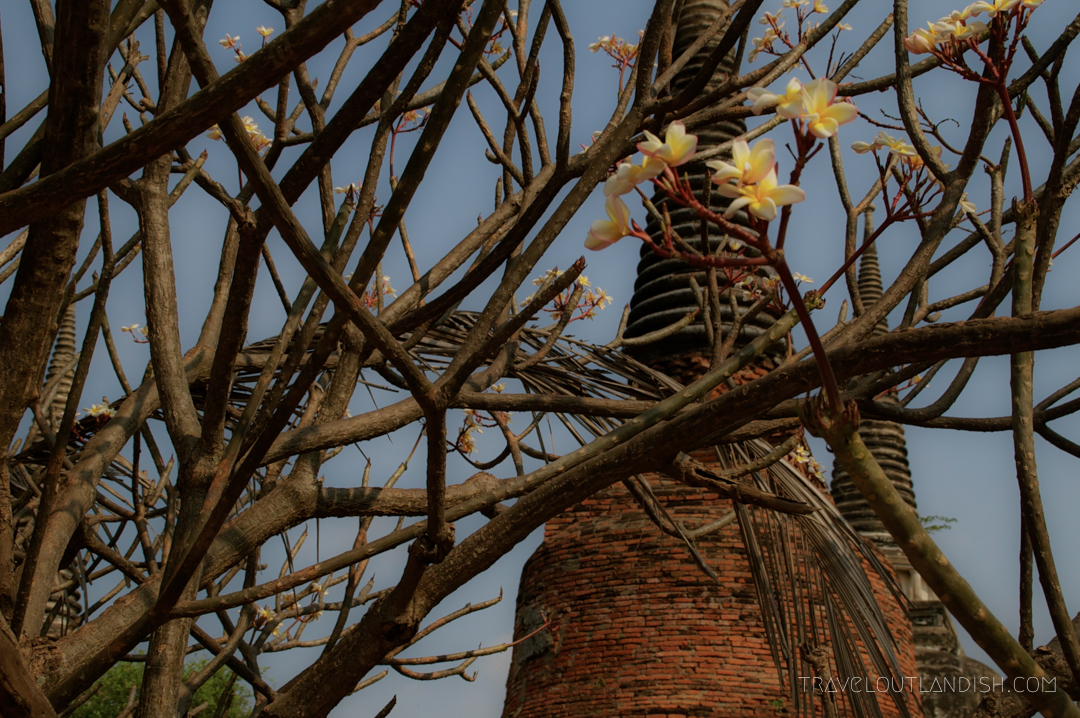 Flowers in the foreground of a stupah at Ayutthaya