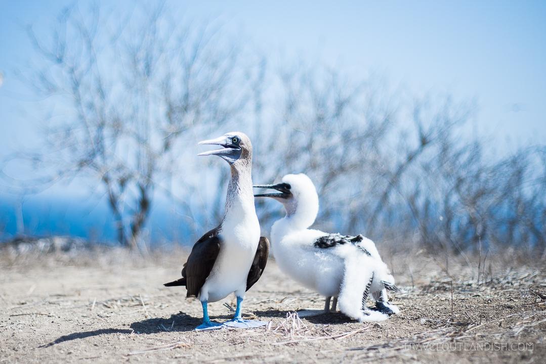 Things to do in Montañita - Blue Footed Boobies on Isla de La Plata