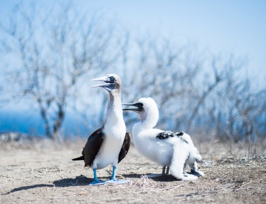 Galapagos Alternative - Blue Footed Boobies on Isla de La Plata