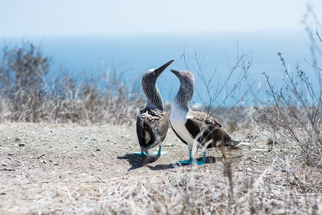 Blue footed boobies on Isla de la Plata