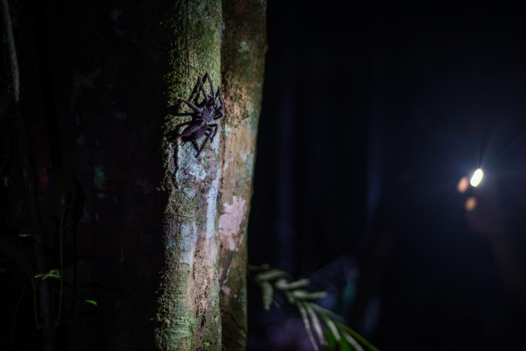 Ecuador Amazon - Tarantulas in Cuyabeno National Park