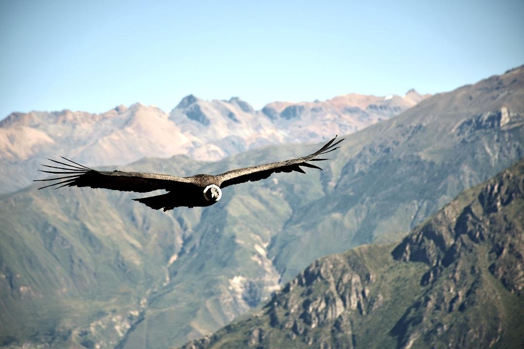Condor flying over the Colca Canyon