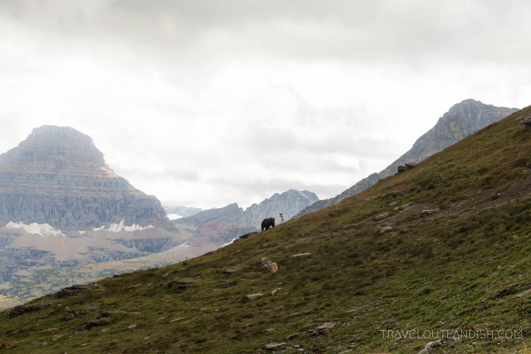 Grizzly climbing over a hill in Glacier National Park
