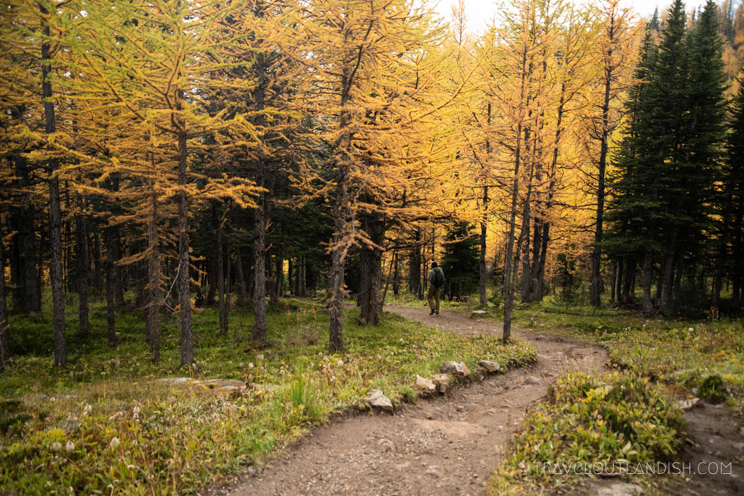Larches in Sentinal Pass