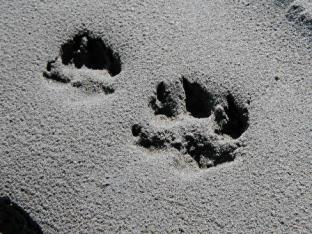 Wolf tracks in the sand